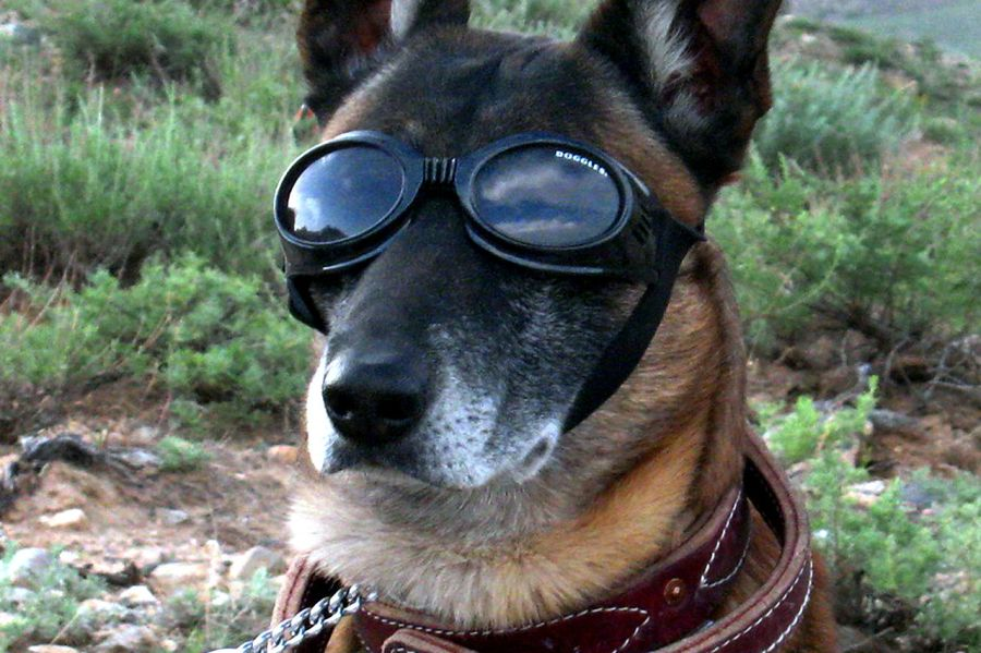 A German Shepherd wearing doggles. Even the dogs get into the act! Photo: Wikipedia